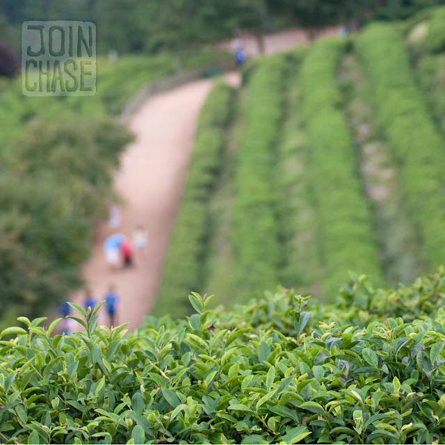 People walking along some of the trails at Daehan Green Tea Plantation in Boseong, Korea.