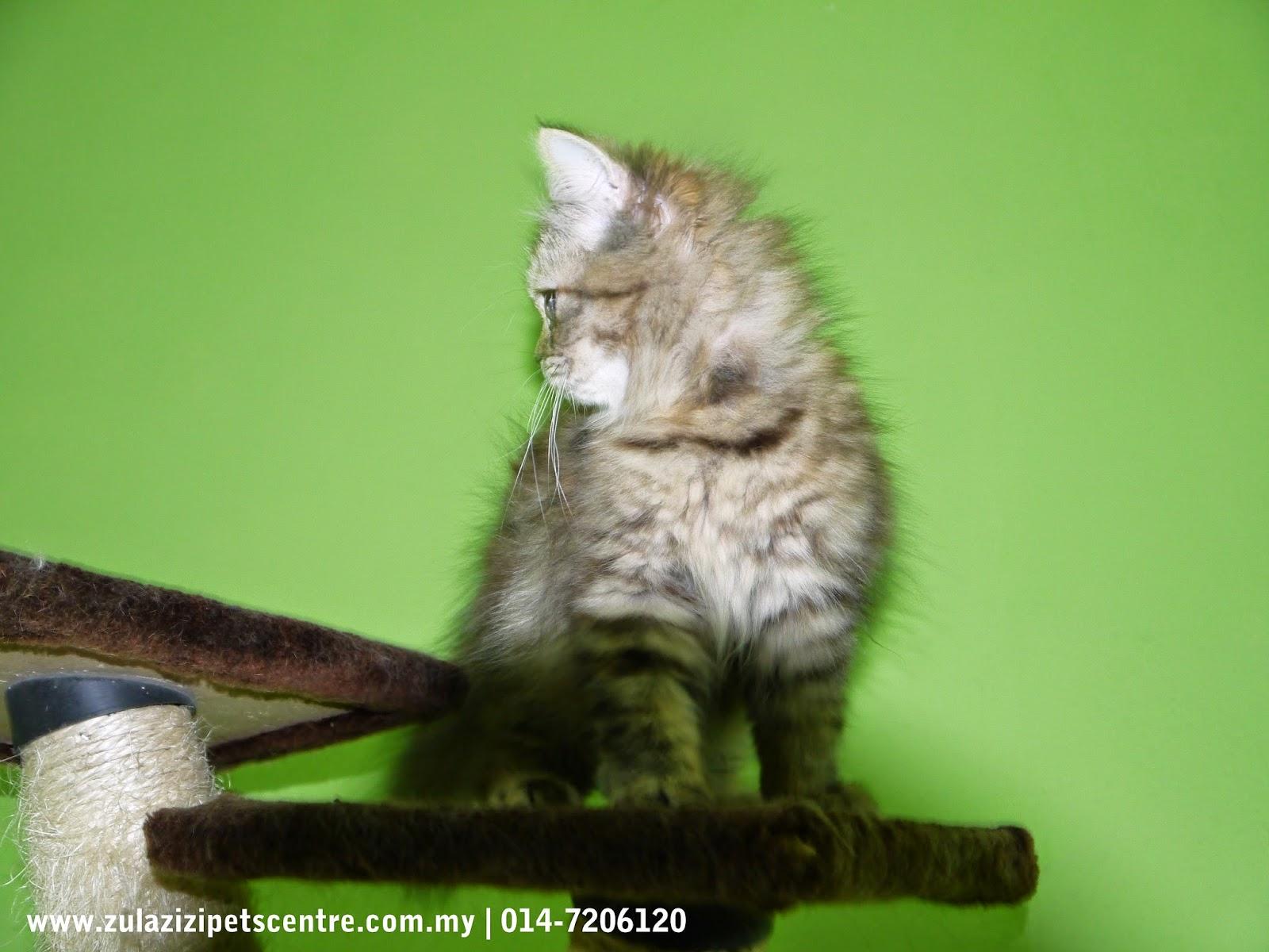 Anak Kucing Parsi Untuk Di Jual Zul Amp Azizi Boarding Pets