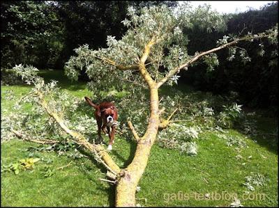 Boxer Amy und der Riesen - Ast im Garten