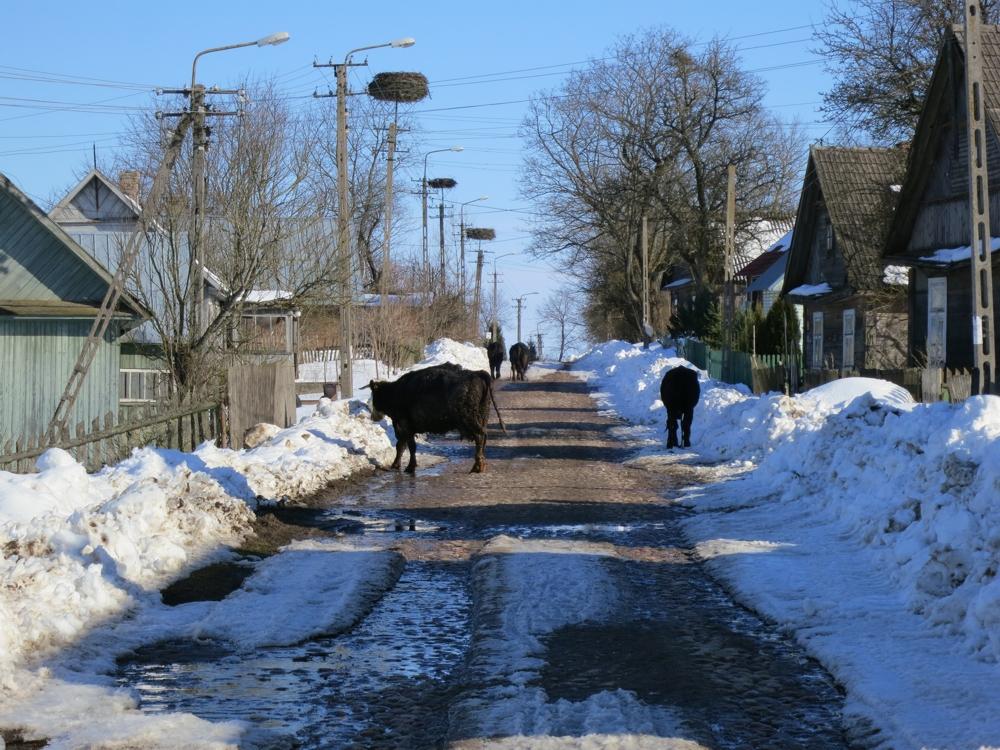 Harakwicze, widok na ulicę, domy drewniane, bocianie gniazda na slupach elekrycznych, w dali krowy idą do wodopoju