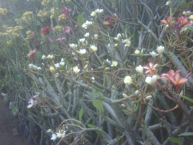 Mengapa pohon kamboja pohon kamboja mudah dalam perawatan dan
