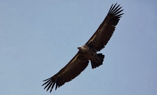 Foto de un buitre moteado volando con las alas completamente extendidas, visto desde debajo