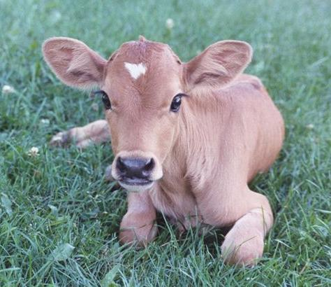 46  Cow Wallpapers, HD Cow Wallpapers and Photos | View HDQ Pictures