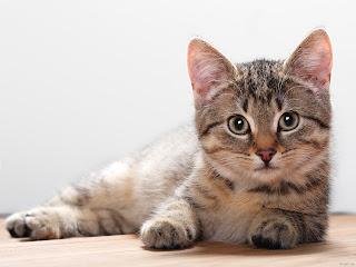 Tips Dasar Merawat Kucing