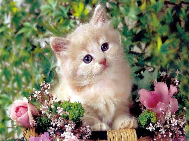 cute cat wallpapers kitten