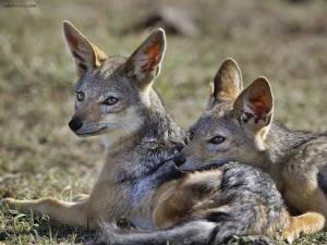 La imagen tiene un atributo ALT vacío; su nombre de archivo es coyotes+pareja+descansando.jpg