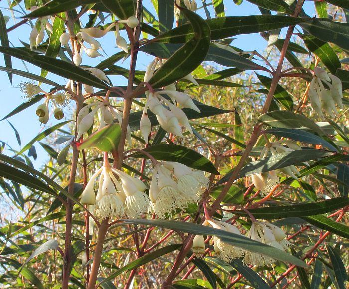 Esperance Wildflowers Eucalyptus Doratoxylon Spearwood