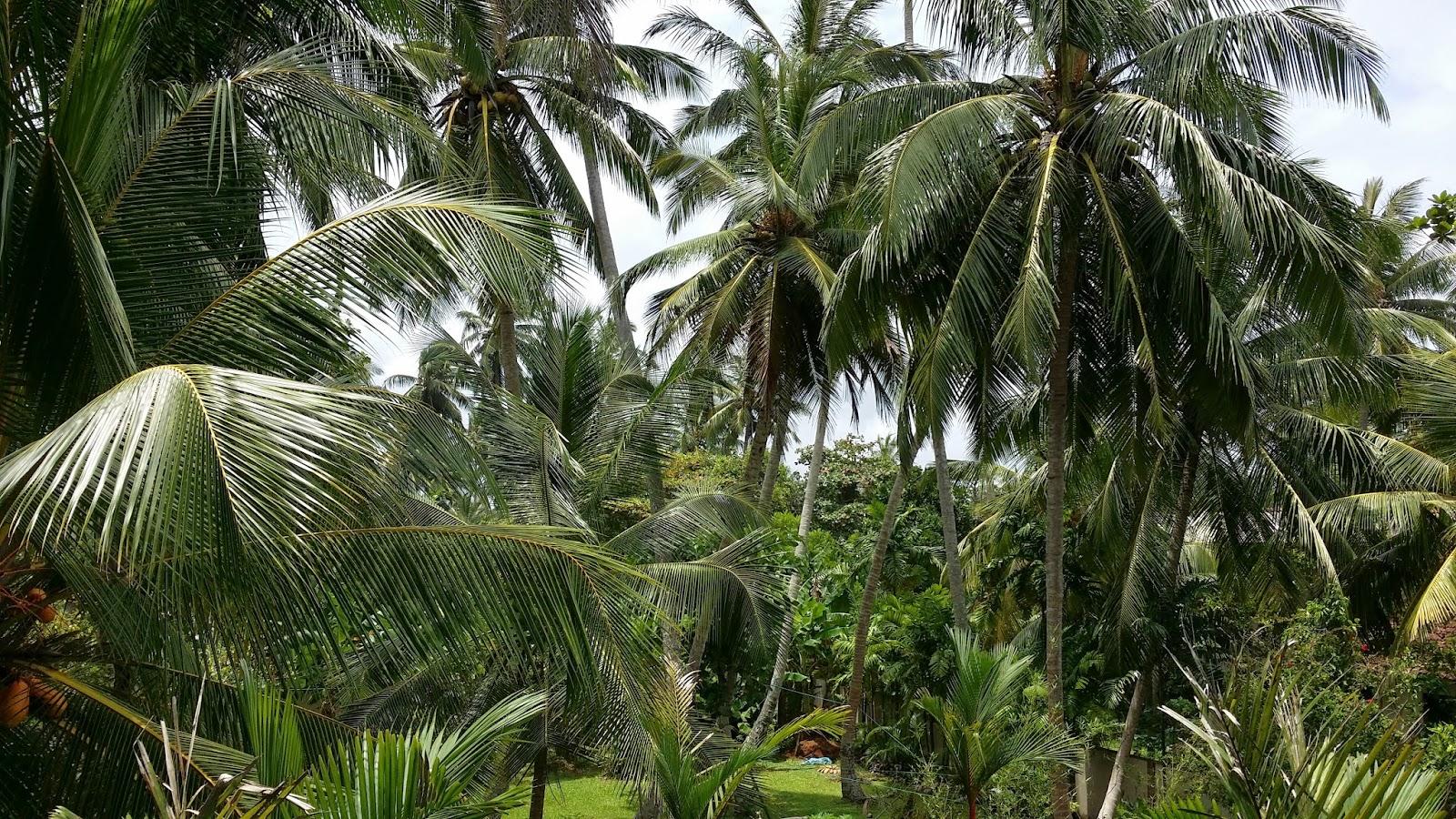 Manto verde del Sur de Sri Lanka (Hikkaduwa)