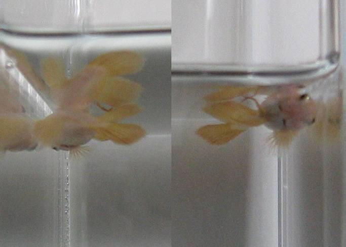 Mekobetta september 2011 for Betta fish swim bladder