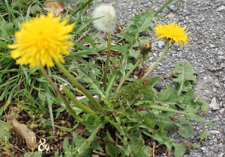 fiori gialli nei campi cosa sono