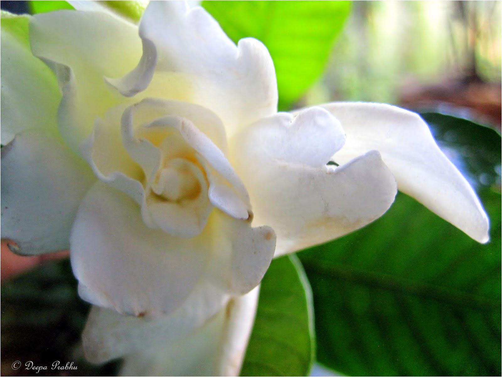 Anant Flower Gardenia Jasminoides Random Photography