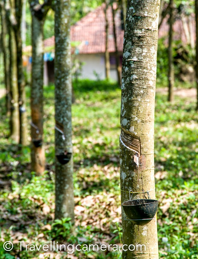 Amongst the various plantations in Wayanad region of Kerala, Rubber plantations were quite popular. Apart from coconut/banana trees & tea/coffee plantations, rubber trees were also in abundance. During our stay at Meenangadi and Bamboo village, we met some of the folks who are into rubber production. This Photo Journey is sharing some interesting facts about rubber plantation and production process. Also some insights about the way this business runs at the lower level.There are lot of rubber farms all around the Wayanad region. Rubber trees can also be seen in the middle of tea estates.Notice that trees are cut to make a pathway for natural rubber liquid to come out and get collected in containers hanged around these trees.Above knife is used to cut these trees. Most of the times the land owners don't work in these farms. They hire families to work in these farms. And the process starts with making cuts on the tree. When I talked to this lady in first photograph, she told us that her family comes to the farm early in the morning at 3am and make these cuts. In a day, 100 trees are treated and in a farm of 500, every tree gets it's turn after 5 days and that the typical frequency to take out natural rubber from trees.After making these cut, families go back to their house and then return back at around 5-6am and find all the containers full. The natural rubber is collected from all these containers. Depending upon the age of a tree, quality varies.Then the natural rubber liquid is put in containers shown in above photograph and let it settle for some time. It starts becoming a think layer of rubber.Then it's passed through above machine, which is used to create rubber sheets of even size.When sheets are created, there is another machine which is used to create pattern on these sheet. Above machine is used to create patterns on these sheets.After these rubber sheets are created, they are carefully put to get dry. It's a long process to dry them in the sun. Well dried rubber sheets can fetch more money.These honey colored rubber sheets are always preferred by agencies who buy these for industrial usage.While talking to our guide Anoop, we got to know that daily 50-60 rubber sheets can be created from the material collected from 500 rubber trees. One sheet is sold to the agency for 60 Rs. Which essentially means that in a day, 3000 rs is coming to the owner of the farm. People working in these farms usually work on daily basis or charge per sheet. The family working in the farms get 15-20 rs per sheet.Above photographs has the waste which comes out of containers tied with rubber trees. These are also used to create sheets but it seems that lot of processing is needed and those sheets fetch lesser money.