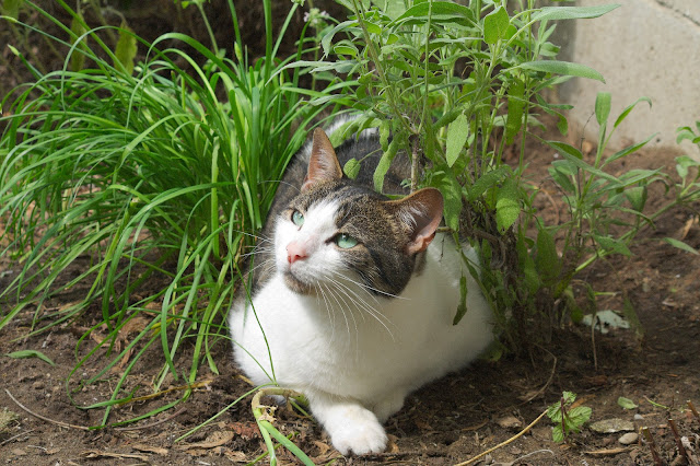 Image of a cat lying in a herb bed