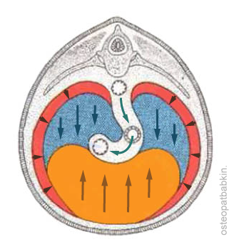 Эмбриогенез диафрагмы. Движение частей растущей диафрагмы