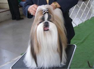 Cute Shih Tzu Grooming Styles 3