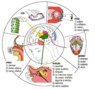 sentidos órganos cerebro