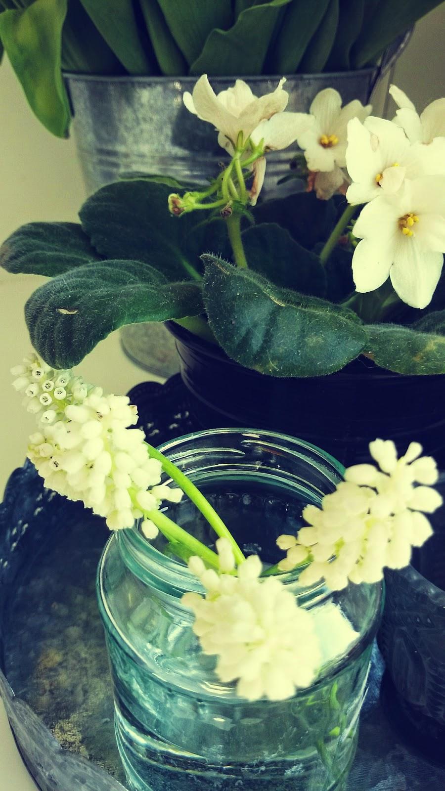 Szafirki w słoiku i fiołek biały w czarnej doniczce
