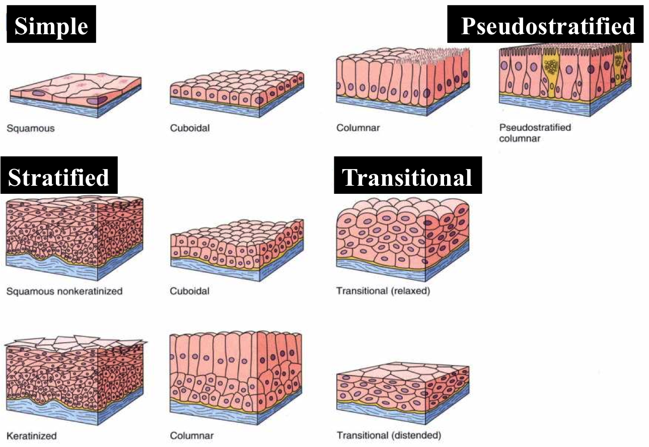 5 types of epithelial tissue Eight types of epithelial tissue by antranik 17 comments first name of tissue indicates number of cell layers simple—one layer of cells stratified—more than.
