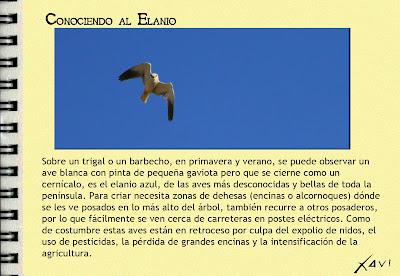 Conociendo al elanio- Javier Pérez