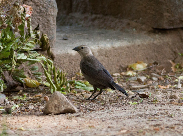 Brown-headed Cowbird - Greenwood Cemetery - New York