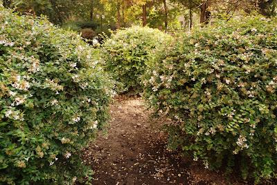 Las abelias un arbusto recomendado - Especies de arbustos ...