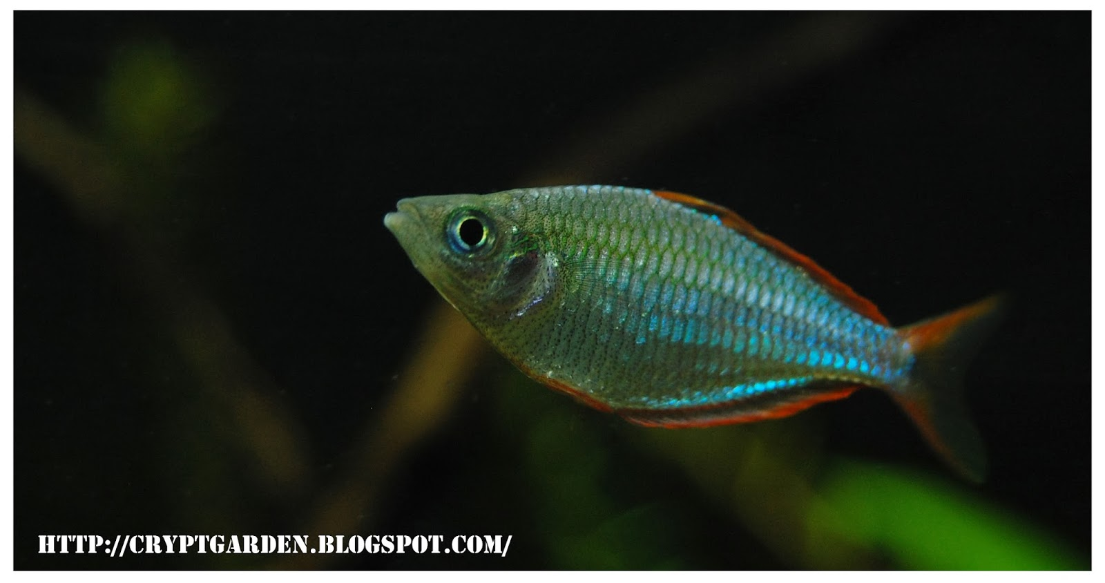Fish Fingers: Dwarf neon rainbow fish:
