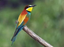 Abelharuco (Merops apiaster) - Douro Superior