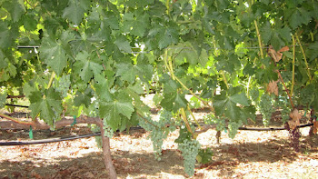 Ripening Grape Vines