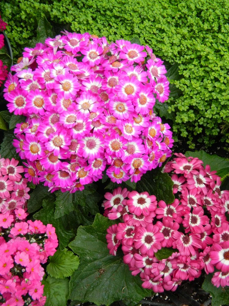 Cineraria at Allan Gardens Conservatory Spring Flower Show 2014 by garden muses-not another Toronto gardening blog