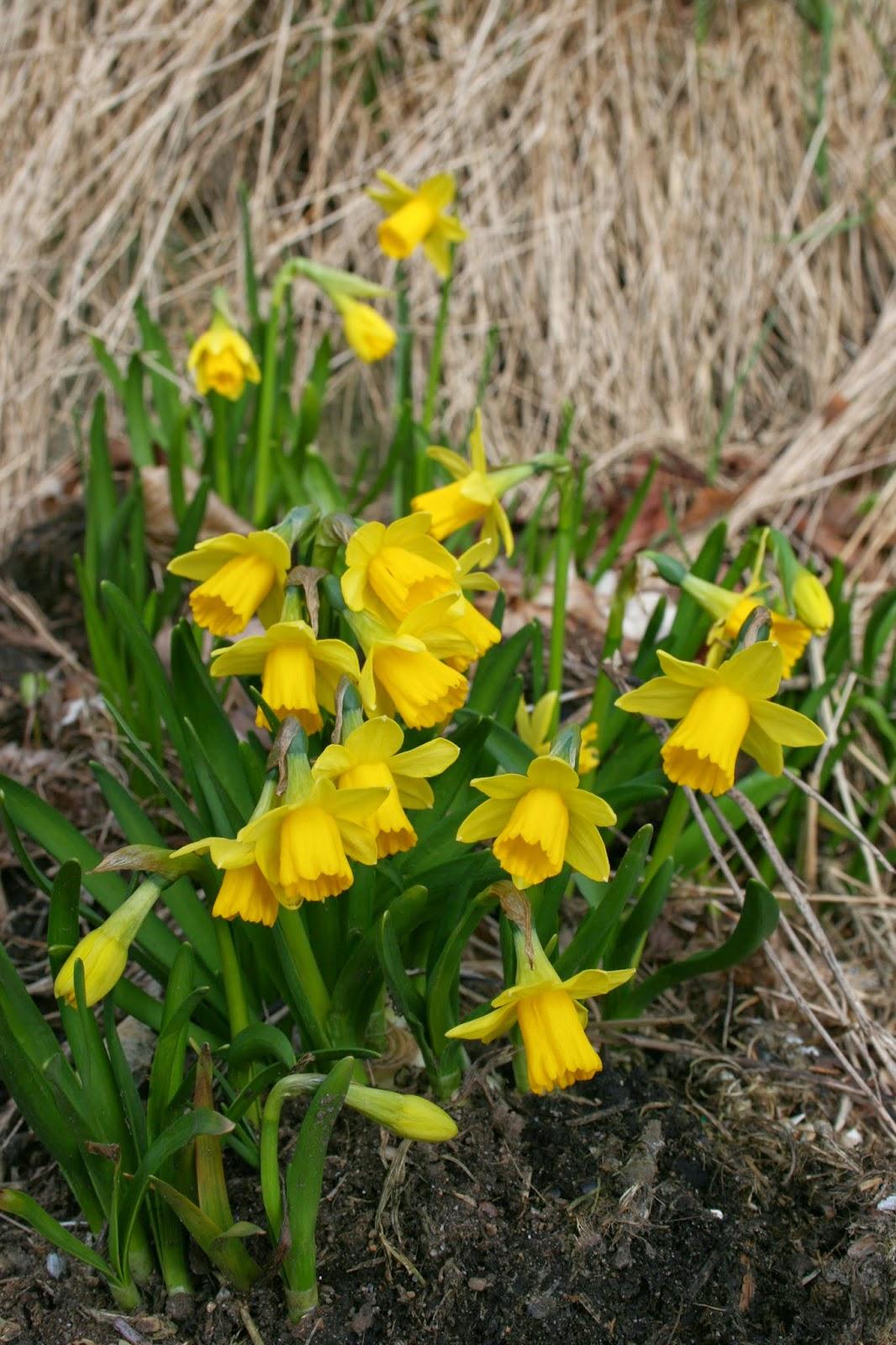 Minipåsklilja 'Tête-a-tête', Narcissus Cyclamineus