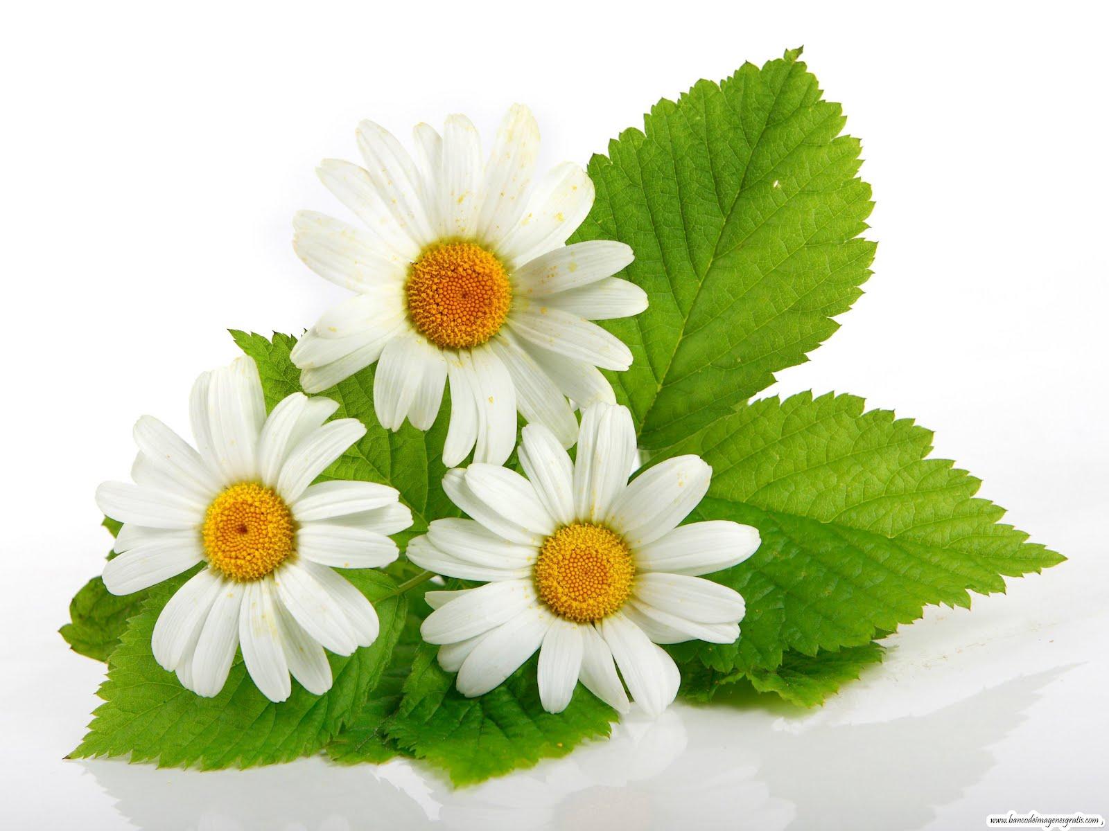 Fotos de margaritas flores for Imagenes bonitas para decorar