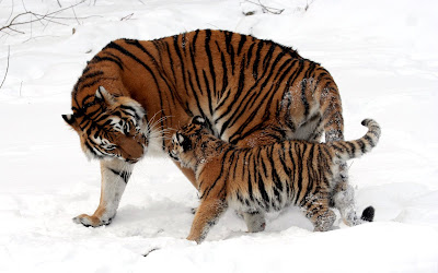 Tigres jugando en la nieve (Fondo de 1920x1200)