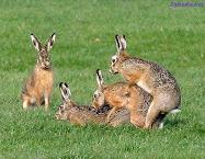 Ni los Conejos