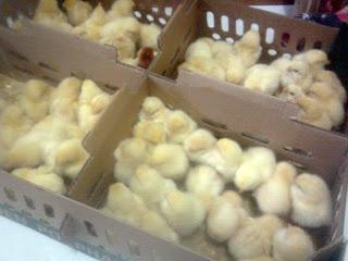 Cara merawat DOC anak ayam supaya tidak gampang mati