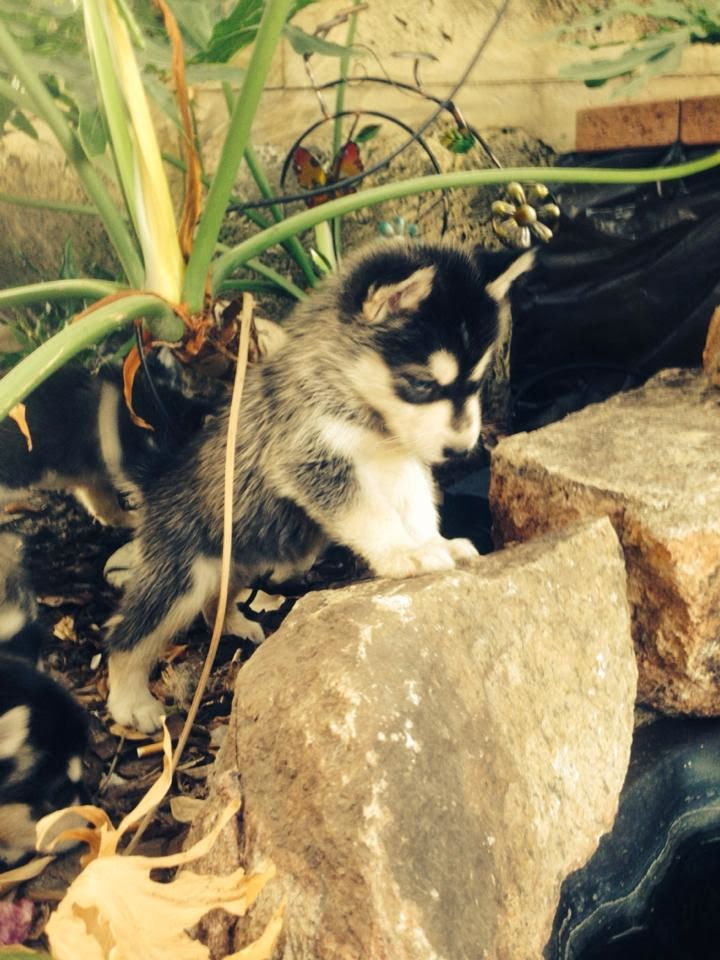 Cute dogs - part 4 (50 pics), dog pictures, husky puppy playing in garden