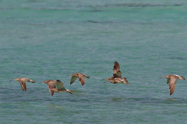 Flock of Whimbrels