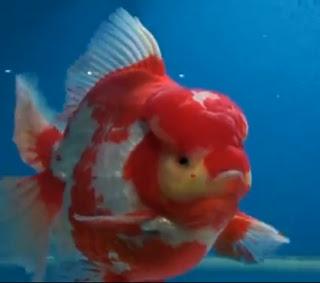 foto ikan mas - gambar hewan