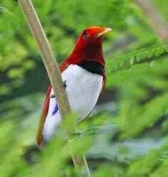 Cendrawasih.., Sang Burung Surga....!!!