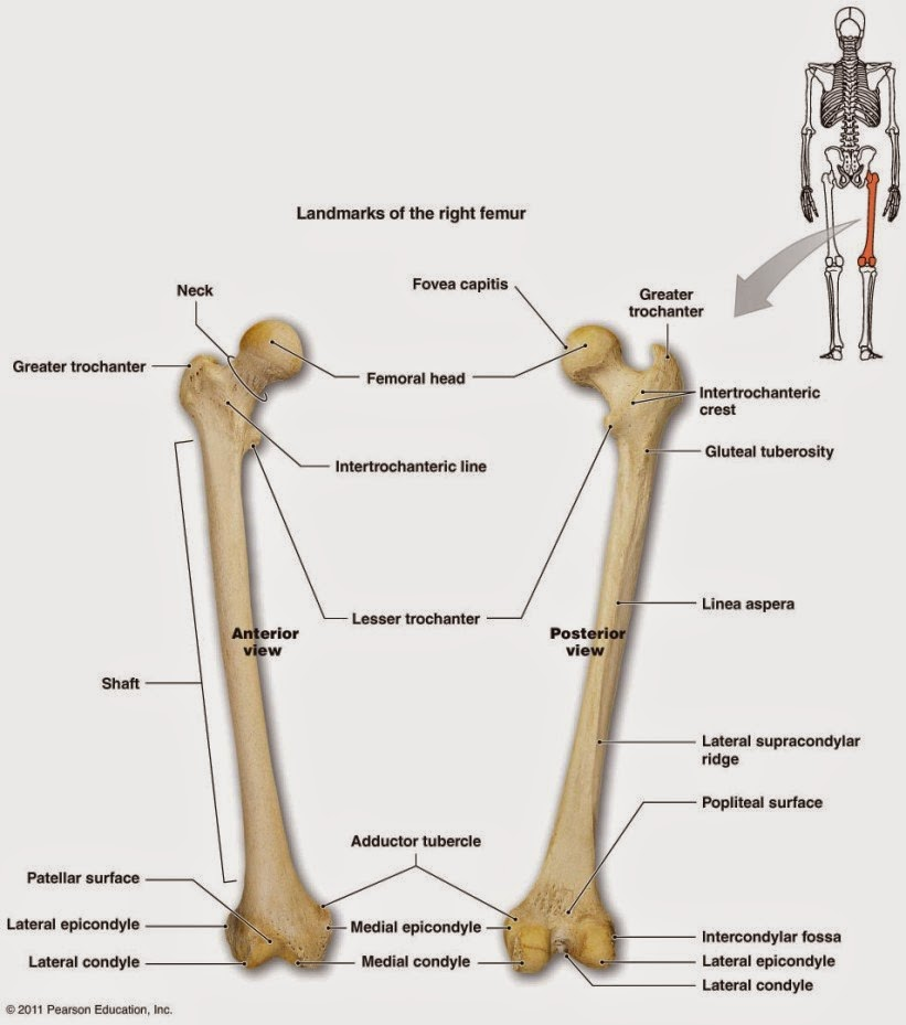 femur diagram anatomy picture reference and health news : unlabeled diagram of femur - findchart.co