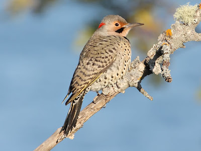 Northern Flicker Yellow Shafted