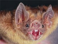 I Pipistrelli attaccano la SARS