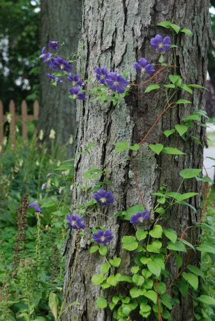 Clematis 'Perle d'Azur', which is climbing one of the maple trees on the Shade Path