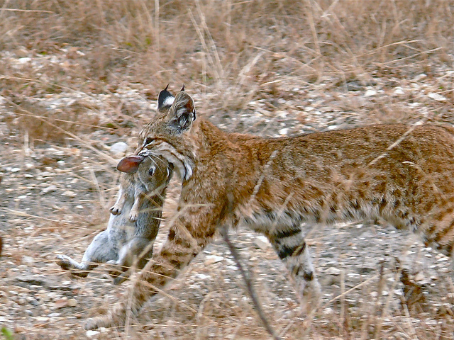 the bobcat resilient predator of north america the ark