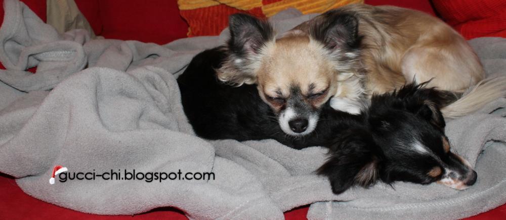 Chihuahuas: Gucci und Milo ♥