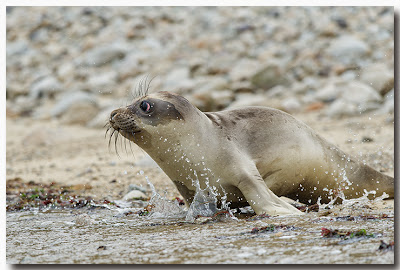 Female Northern Elephant Seal pup enters the surf!