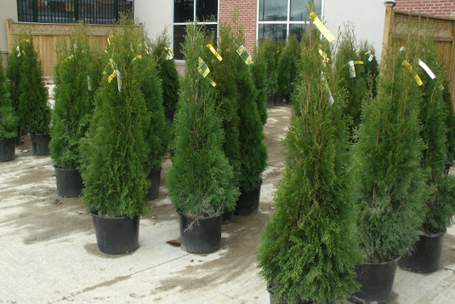 Containers of Thuja occidentalis smaragd Emerald cedars by garden muses: a Toronto gardening blog
