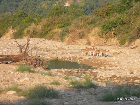 Spotted Deer on river bed in Jim Corbett National Park