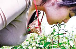 wanita petik daun teh guna mulut