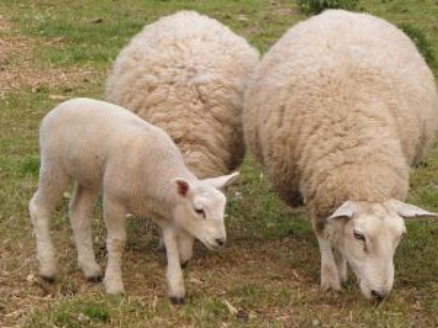 Cristianosbiblicosenvenezuela 2012 05 13 - Photos de moutons gratuites ...