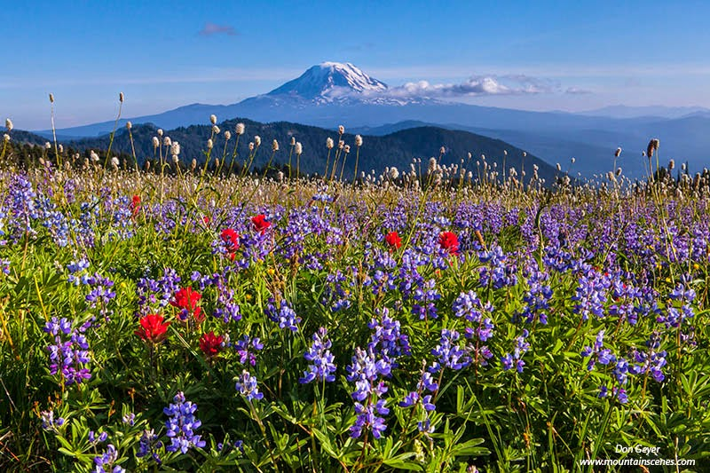 Mount Adams above flower meadows in Snowgrass Flats, Goat Rocks Wilderness, Cascade Range, Washington, USA.